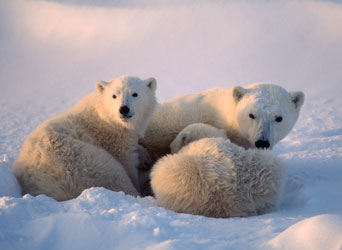 Group of polar bears